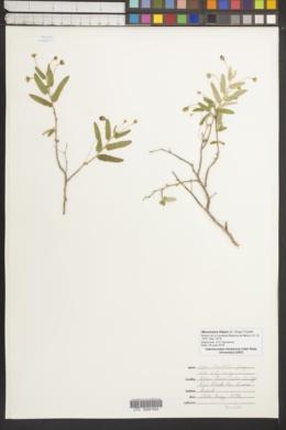 Image of Meximalva filipes
