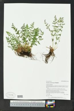 Woodsia oregana image