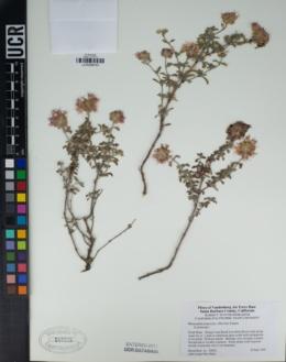 Image of Monardella frutescens