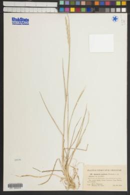 Elymus pycnanthus image