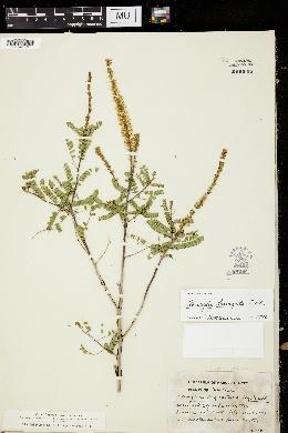 Image of Amorpha laevigata