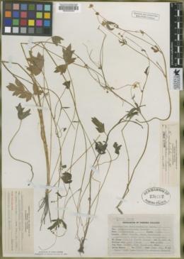 Image of Ranunculus alceus
