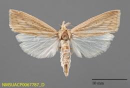 Image of Diatraea saccharalis