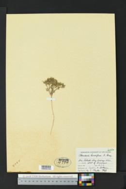 Houstonia humifusa image