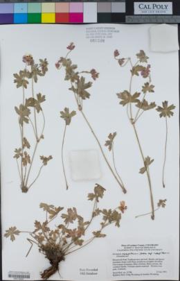 Geranium caespitosum var. caespitosum image