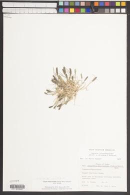 Crypsis alopecuroides image