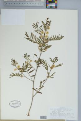 Acacia angustissima var. texensis image