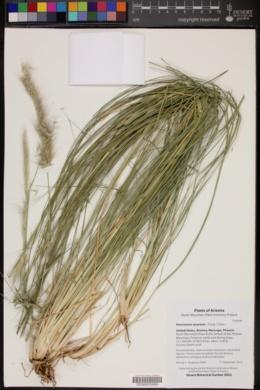 Pennisetum setaceum image