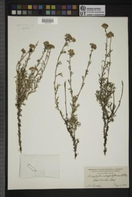 Eriophyllum confertiflorum image
