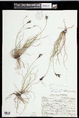 Image of Carex eleusinoides