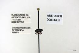 Image of Pachybaris porosa