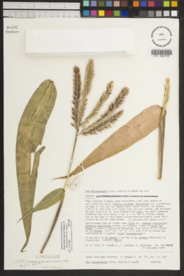 Zea diploperennis image