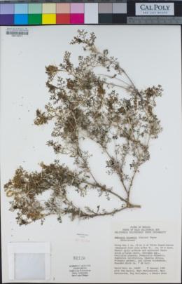 Ambrosia bryantii image