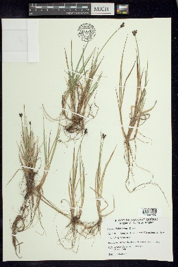 Image of Carex holostoma