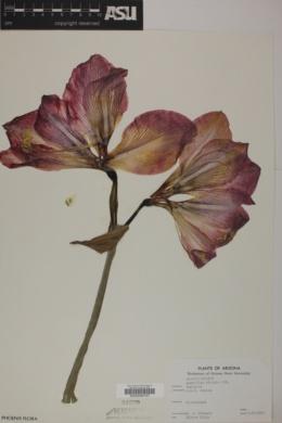 Image of Amaryllis vittata
