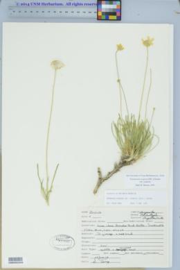 Tetraneuris scaposa var. scaposa image