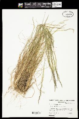 Image of Agrostis hooveri