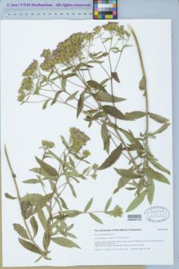 Stevia plummerae image