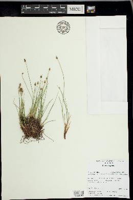 Carex capitata image