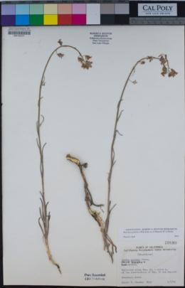 Image of Boechera pulchra