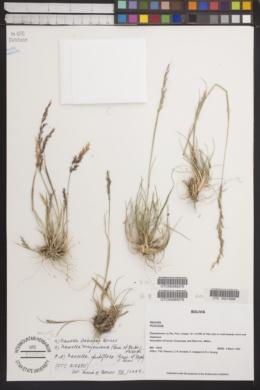 Image of Nassella pubiflora
