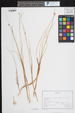 Allium rhizomatum image