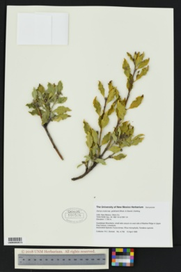 Garrya ovata subsp. goldmanii image