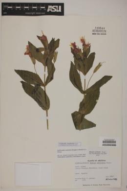 Image of Erythranthe cinnabarina