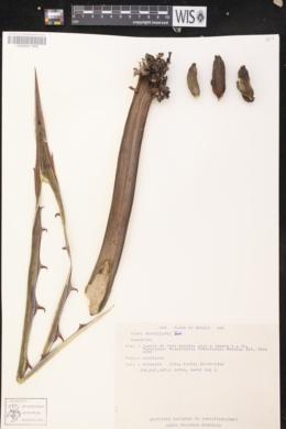 Image of Agave macroculmis