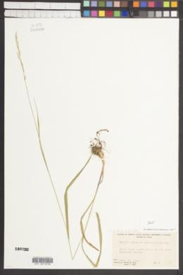 Melica subulata image