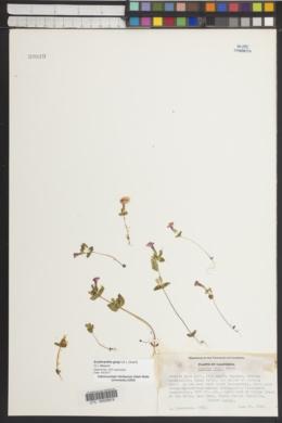 Erythranthe grayi image