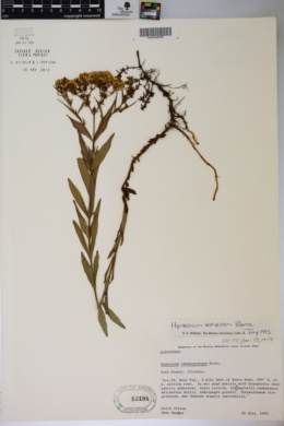 Hypericum adpressum image