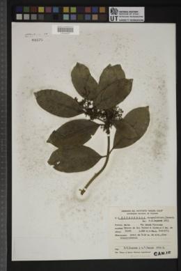 Image of Citronella apogon