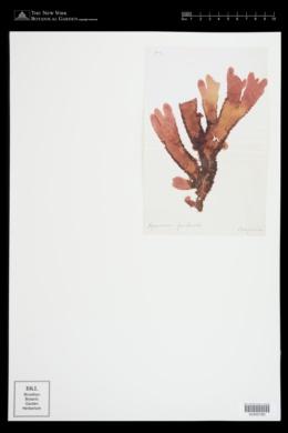 Cryptopleura ruprechtiana image