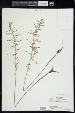 Image of Phyllanthus stipulatus