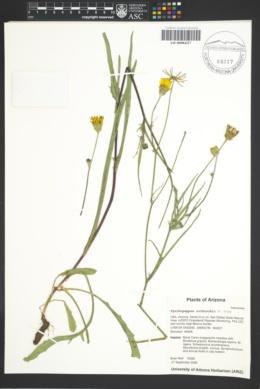 Pyrrhopappus rothrockii image