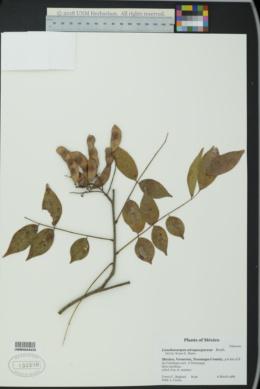 Image of Lonchocarpus atropurpureus