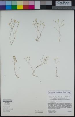 Sabulina cismontana image