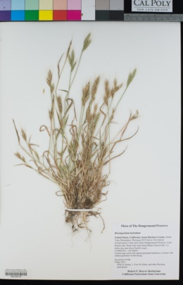 Image of Brachypodium hybridum