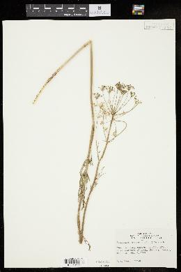 Image of Perideridia americana