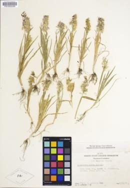 Lamarckia aurea image