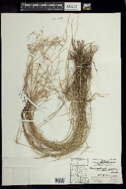 Muhlenbergia porteri image