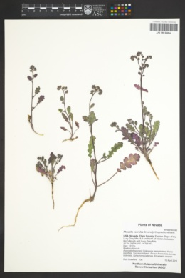 Phacelia caerulea image