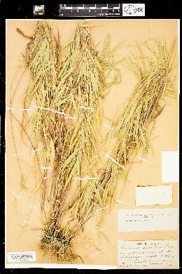 Image of Panicum shastense