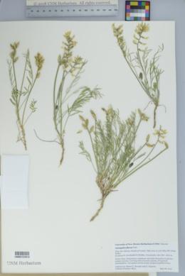 Astragalus flavus image