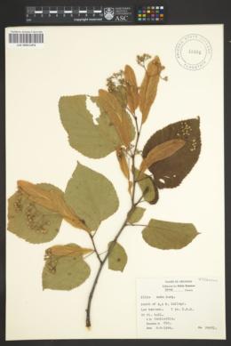 Tilia neglecta image