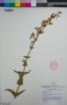 Penstemon spectabilis var. subviscosus image