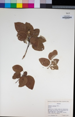 Image of Cydonia oblonga