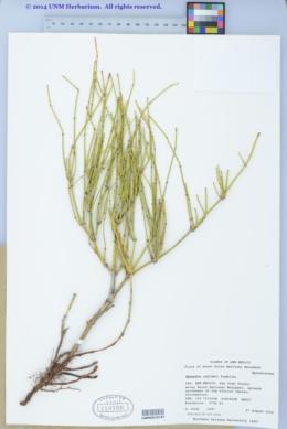 Ephedra cutleri image