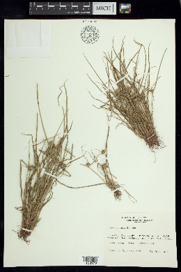 Image of Cyperus humilis